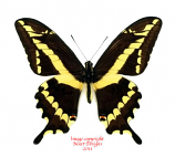 Papilio paeon (Peru) A-