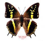 Charaxes solon orchomenus (Philippines)