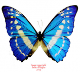 Morpho cypris cypris (Colombia) A2