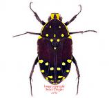 Euchroea histrionica (Madagascar) A2