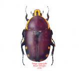 Euchroea oberthuri (Madagascar) A2