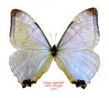 Morpho sulkowsky (Peru) A2