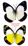 Cepora boisduvaliana (Philippines) A-