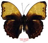 Cymothoe haynac diphyia (RCA) A2