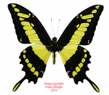 Papilio thoas (Peru) A1 and A-