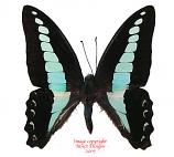 Graphium sarpedon sarpedon (Philippines)