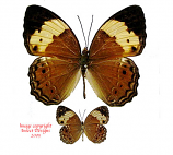 Cupha arias arias (Philippines)