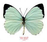 Pieris talassina (Tanzania) A2