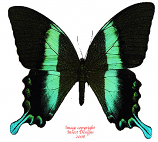 Papilio blumei (Sulawesi) A- and A2