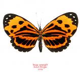 Stalachtis calliope (Peru)