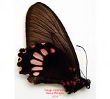 Parides panthonus (Peru) - female