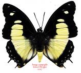 Charaxes nobilis (RCA)