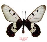Cressida cressida insularis (Moa) A2