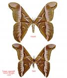 Samaia cynthia (Java) A2