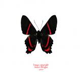 Ancyluris eudaemon (Peru)