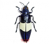 Chrysochroa castelnaudi (Malaysia)