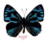 Poritia philota sugimotoi (Philippines)