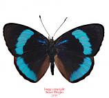 Perisama euriclea (Peru) A-