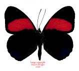 Callicore cajetani (Peru) A-