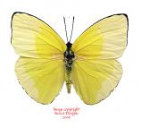Phoebis statira (Peru)