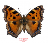 Nymphalis xanthomelas (Korea)