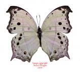 Salamis parhassus (RCA) A2
