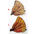 Amathuxidia amythaon (Philippines)