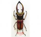 Cyclommatus canaliculatus freygesseneri (Java)