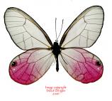 Cithaerias merolina (Peru) A-