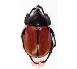 Mitracephala humboldtii (Peru)