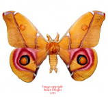 Antherea suraka (Madagascar) A-