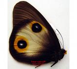 Taenaris horsfieldi (Java) A2
