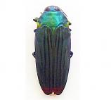 Colobogaster diviana (Peru)