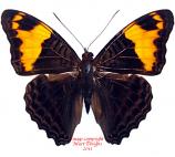 Adelpha Ximena (Ecuador)