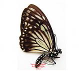 Papilio (Chilasa) carolinensis (Philippines)