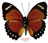 Euphaedra eleus (RCA)