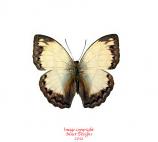 Cymothoe jodutta (RCA) A2