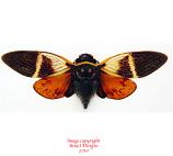 Anganiana flordula (Thailand) A-
