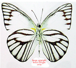 Appias olferna (Thailand) A2