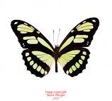 Philaethria dido (Peru) A-