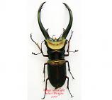 Cyclommatus elaphus truncatus (Sumatra)