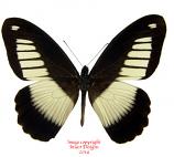 Papilio cynorta (RCA)