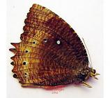 Elymnias parce (Philippines)