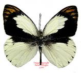 Colotis eris (Tanzania)