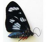 Pericopinae sp.6 (Peru)
