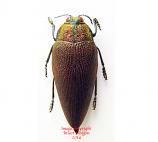 Steraspis speciosa (Tanzania) A2