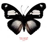 Hypolimnas mechowi (RCA) A2
