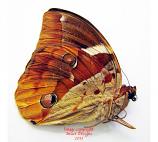 Thauria aliris (Kalimantan) A-