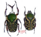 Megalorrhina harrisi (Tanzania) - males only