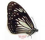 Parantica luzonensis simonides (Philippines)